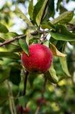 水多的苹果 免版税库存图片