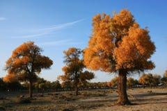 多种有叶的白杨树 图库摄影