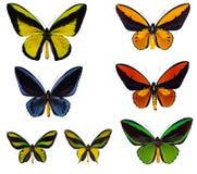 多种ornioptera 免版税库存照片