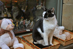 多米诺猫 免版税库存图片