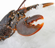 多维数据集冰龙虾 库存照片