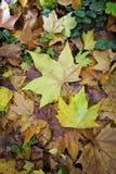 多色叶子秋天地毯  免版税图库摄影