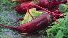 多色新鲜蔬菜红萝卜和甜菜在绿草在一场重的阵雨期间下雨与微风 领域的浅深度 股票录像