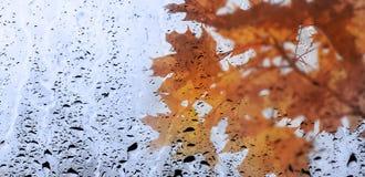 多色槭树通过玻璃窗离开充满雨 免版税图库摄影
