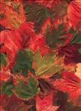 多色的叶子的槭树 免版税图库摄影
