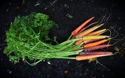 多色的红萝卜在庭院里 免版税库存照片