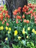多色的郁金香和黄水仙在自然背景 免版税图库摄影