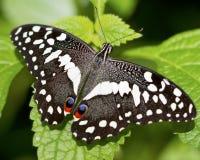 黑多色的飞蛾 库存图片