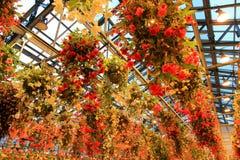 多色秋海棠在秋海棠庭院, Nabana里没有佐藤,米氏,日本 免版税图库摄影