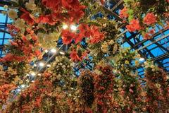 多色秋海棠在秋海棠庭院, Nabana里没有佐藤,米氏,日本 免版税库存照片