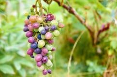 多色葡萄早午餐在被弄脏的自然背景关闭的  图库摄影