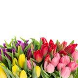 多色郁金香花束在白色背景的 图库摄影