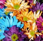 多色3个背景的雏菊 免版税库存照片