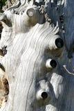 多节木纹理 免版税图库摄影