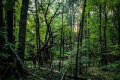 多节死的下落的树在一个朦胧的森林里 免版税图库摄影