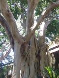 多节澳大利亚树 免版税库存图片