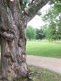 多节老结构树 库存照片
