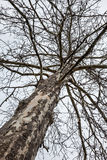多节老贫瘠树 免版税库存图片