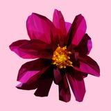 多角形几何三角紫色花,被隔绝的传染媒介 免版税库存图片