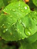 多雨叶子 免版税库存照片
