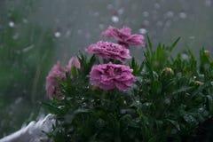 多雨天气,在窗口的水下落,湿康乃馨花在背景中 库存照片