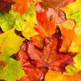多雨槭树叶子背景  免版税图库摄影
