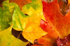 多雨秋天槭树叶子设计背景 库存照片