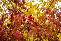 多雨Autumn_Fall 在ashberry树的Defading五颜六色的叶子 山脉灰 俄国 西伯利亚 库存照片