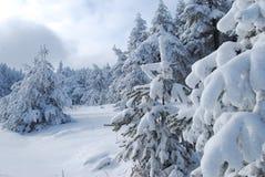 多雪冷杉的森林 库存图片