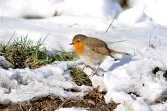 多雪地面的知更鸟 图库摄影