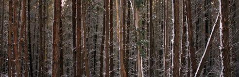 多雪森林的杉木 免版税库存照片