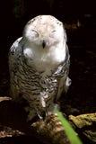多雪母的猫头鹰 库存图片