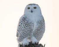 多雪母的猫头鹰 免版税库存照片