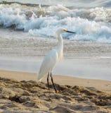 多雪海滩的白鹭 免版税库存照片