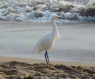 多雪海滩的白鹭 库存图片