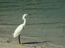 多雪海滩的白鹭 库存照片
