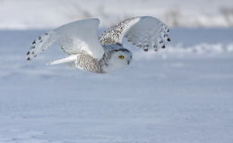 多雪狩猎的猫头鹰 库存图片