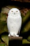 多雪猫头鹰的纵向 免版税库存照片