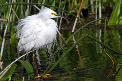 多雪白鹭的全身羽毛 免版税库存照片