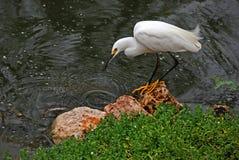 多雪白鹭的捕鱼 库存图片