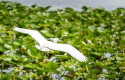 多雪白鹭的飞行 库存图片
