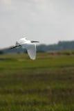 多雪白鹭的飞行 库存照片