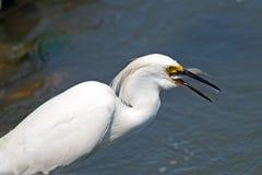 多雪白鹭的鱼 库存照片