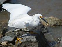 多雪白鹭的鱼 免版税库存图片