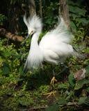 多雪白鹭的plummage 库存照片