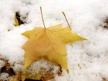 多雪的叶子 库存图片