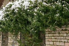 多雪的常春藤自然本底在石墙上的 免版税库存图片