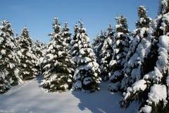 多雪的常青树 库存图片