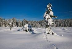 多雪的杉木 免版税库存照片