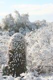 多雪的柱仙人掌 免版税库存图片
